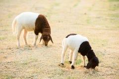 吃草的两只绵羊在晚上 免版税库存图片