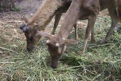 吃草的两头幼小公鹿在农场 免版税库存照片