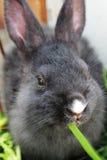 吃草的兔子。 免版税库存图片