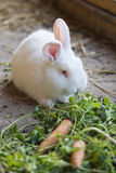 吃草的兔宝宝 免版税库存照片