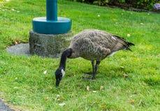 吃草的加拿大鹅 库存照片