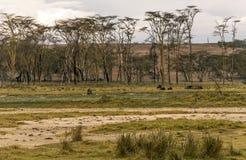 吃草的北美野牛 库存图片