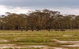 吃草的北美野牛 库存照片