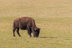 吃草的北美野牛 免版税库存图片