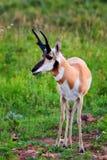 吃草的叉角羚羊 库存图片