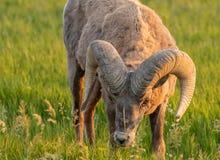 吃草的大角野绵羊弯下来 免版税图库摄影
