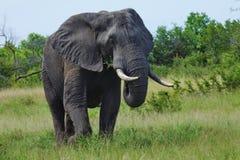 吃草的大象 库存图片