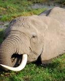 吃草的大象 免版税图库摄影