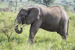 吃草的大象 免版税库存照片