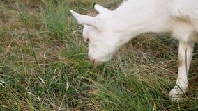 吃草的小山羊 影视素材