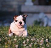 吃草的小狗 免版税库存照片