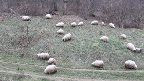 吃草的小组绵羊 免版税图库摄影