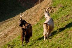 吃草的山羊 库存图片