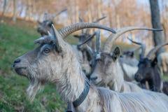 吃草的山羊 免版税图库摄影