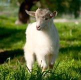 吃草的山羊 免版税库存图片