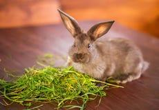 吃草的布朗兔子 免版税库存照片