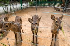 吃草的幼小棕色鹿 免版税库存照片