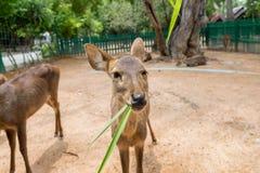 吃草的幼小棕色鹿 免版税库存图片