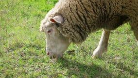 吃草的成人绵羊在草甸,侧视图,细节 影视素材