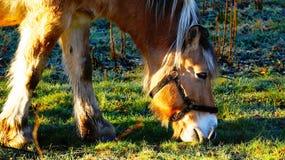 吃草的挪威海湾马 免版税库存图片