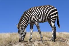 吃草的斑马 免版税库存图片