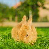 吃草的橙色bunnie在后院-方形的构成 免版税库存图片