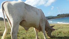 吃草的母牛在圣卢西亚 库存图片
