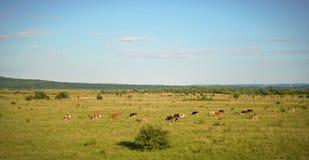吃草的母牛牧群领域的全景 库存图片