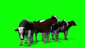 吃草的母牛-绿色屏幕 股票视频