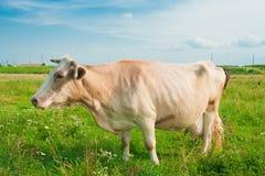 吃草的母牛 免版税库存图片