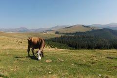 吃草的母牛 免版税图库摄影