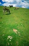 吃草的母牛 图库摄影