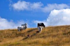 吃草的母牛 免版税库存照片