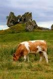 吃草的母牛 库存图片