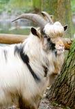 吃草的灰色山羊 免版税库存照片