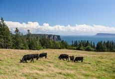 吃草的牛。 免版税库存图片
