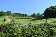 吃草的牛的领域 免版税库存照片