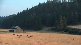 吃草的牛,华盛顿州,美国4K UHD 影视素材