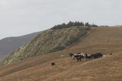吃草的牛,套袖大衣,新西兰 库存图片