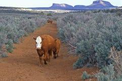 吃草的牛,种田开放的范围, UT 免版税库存照片