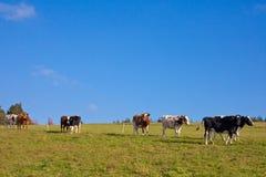 吃草的牛 免版税库存照片