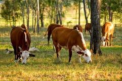 吃草的牛 库存照片