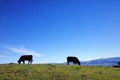 吃草的牛 免版税库存图片