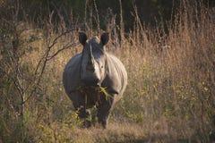 吃草的犀牛在非洲 免版税库存照片