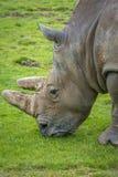 吃草的犀牛的特写镜头 免版税库存照片
