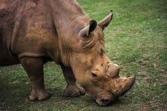 吃草的犀牛的画象 免版税库存照片