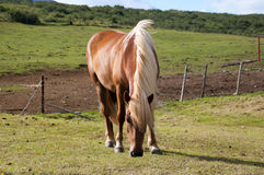吃草的白肤金发的马 免版税库存图片