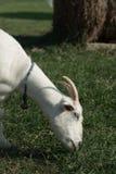 吃草的白色山羊顶头射击 图库摄影