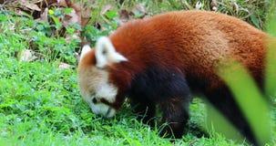 吃草的红熊猫 影视素材