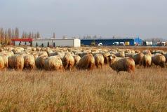 吃草的绵羊牧群户外 免版税库存照片